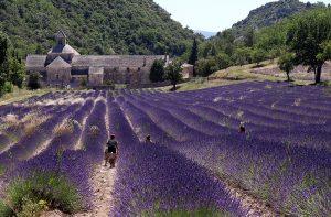 So haben Sie sich die Provence mit Sicherheit vorgestellt. Die Abtei Senanque liegt umgeben von Lavendelfeldern.