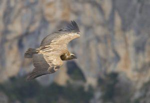 Der Gänsegeier ist durch seine imposante Größe und die deutlich zweifarbigen Flügel kaum zu verwechseln.