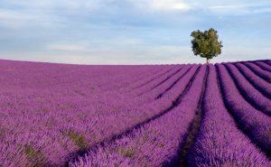 Die Lavendelfelder der Provence sind beliebte Fotomotive. Doch eine von Zikaden übertragene Krankheit gefährdet die dortige Lavendelölernte.