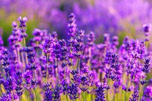 Lavendel dient auch zur Gewinnung von Duftstoffen.