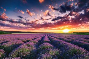 Die Lavendelfelder der Provence sind ein beliebtes touristisches Ziel.