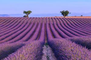 Lavendel ist die charakteristische Pflanze der Hoch-Provence.