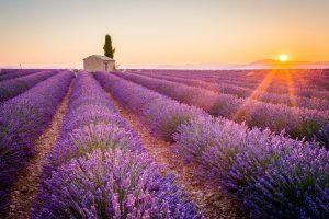 Die wunderschönen Lavendelfelder sind ein typisches Merkmal Südfrankreichs.