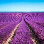Der Lavendel ist das Markenzeichen der Region Provence und Côte d'Azur. Der sanfte Geruch und die schöne Optik bleiben jedem Touristen im Kopf.