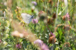 Le Parc urbain des Papillons soll die Schmetterlinge untersuchen und schützen.